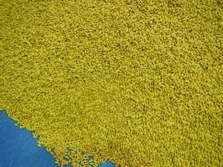 米農家は種もみを買っているという事実をどう考えるか